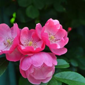 蔷薇花的传说二