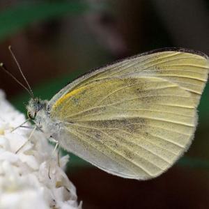 地被类虫害:菜粉蝶