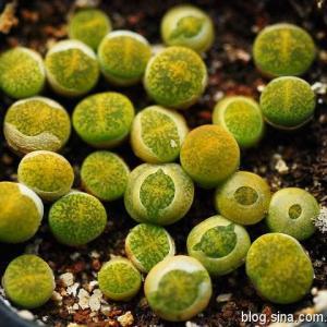 黄花黄紫勋 C036B Lithops lesliei ssp. lesliei v. lesliei 'St