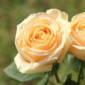 把握最美的花期:香槟玫瑰成熟时间