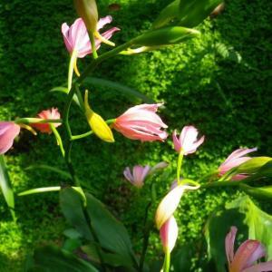 紫花鹤顶兰图片