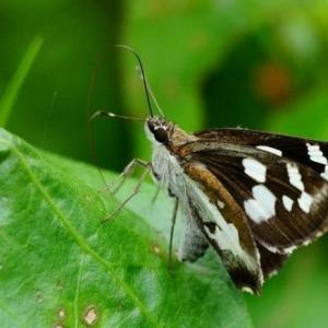 地被类虫害:姜花弄蝶