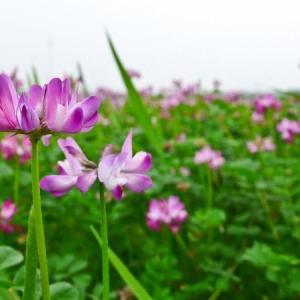 紫云英的花语