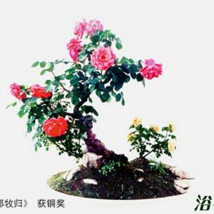 月季花盆景图片