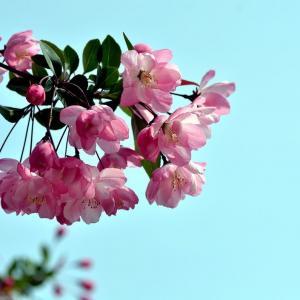 木瓜海棠花语是什么,你知道吗