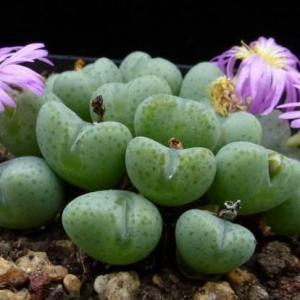 立雏 Conophytum albescens