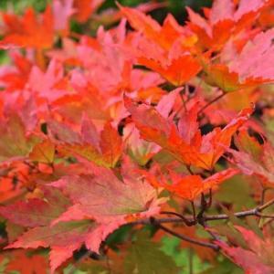 Árboles con color de otoño