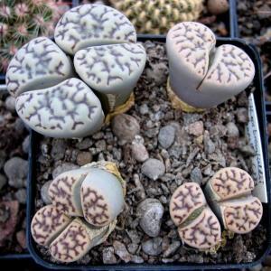 石榴玉 C040 Lithops bromfieldii v. bromfieldii