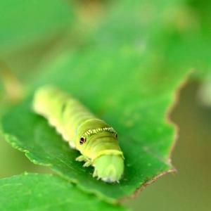 地被类虫害:菜青虫