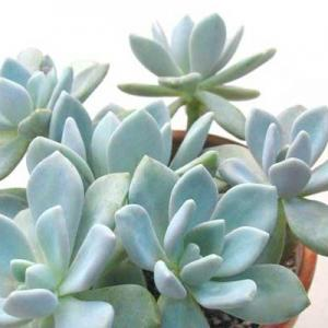 厚脸皮植物有哪些