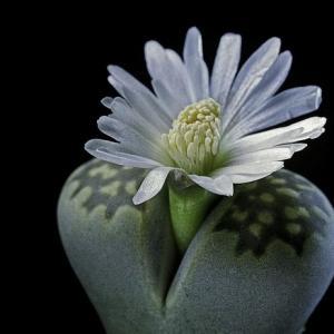 看到腐烂的生石花,感觉已经不会在爱它了。