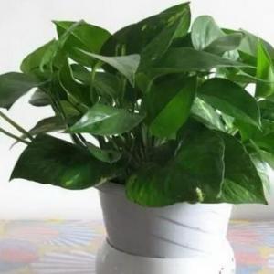 观叶植物过冬法之绿萝