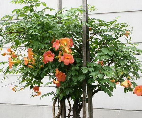 女藏花盆栽的鉴赏以及养护管理