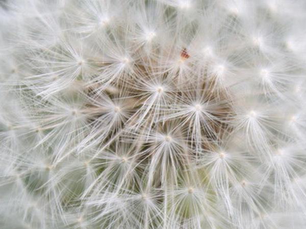 Dandelion—Mito enjoy