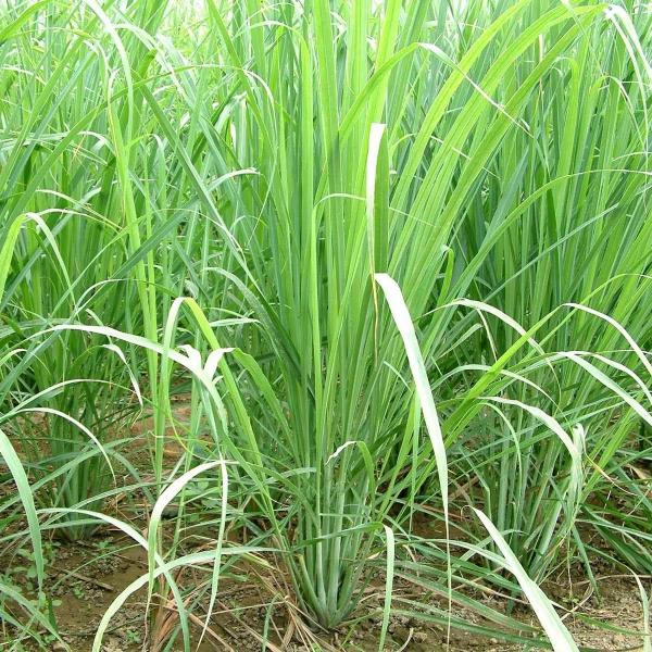 How to Grow Lemongrass from Seed | Growing Instructions