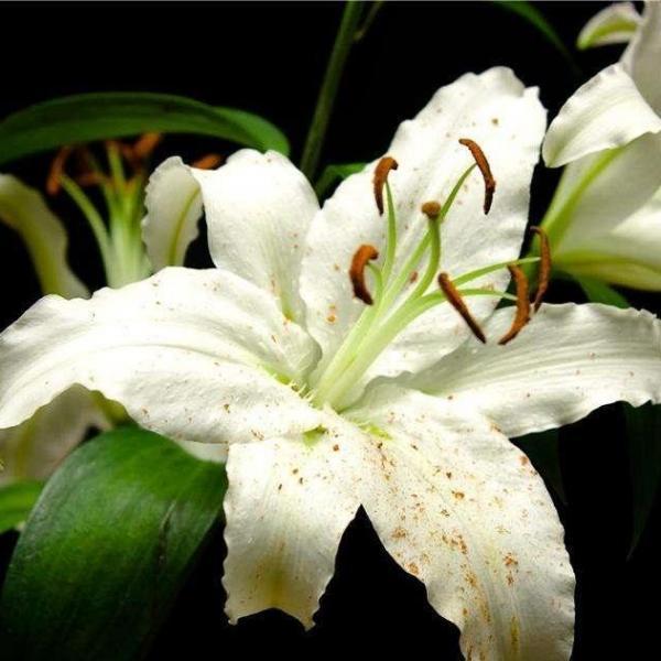 百合花是怎么繁殖的(三种方法)