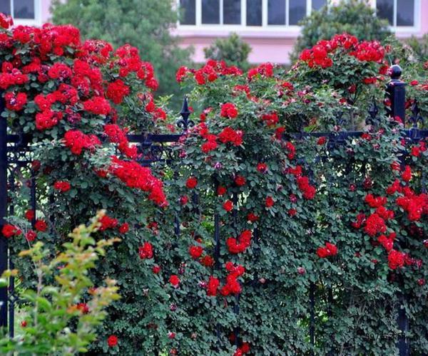 爬藤花卉牵引方法与养殖技巧