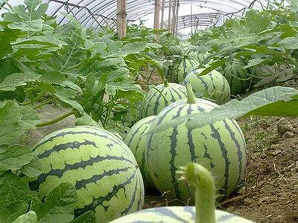 西瓜什么时候种植