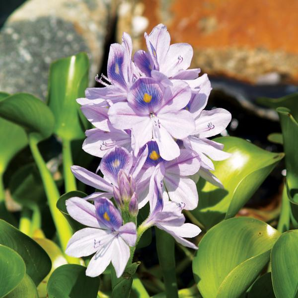 Tips For Growing Water Hyacinth Plants