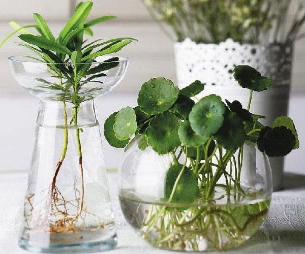 常见的水培植物与其日常养护须知