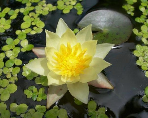 Care Of Water Lilies: Growing Water Lilies And Water Lily Care