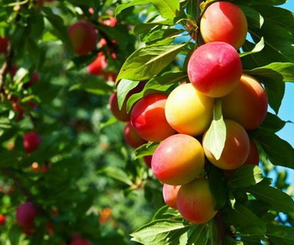 Fruit—Mito enjoy
