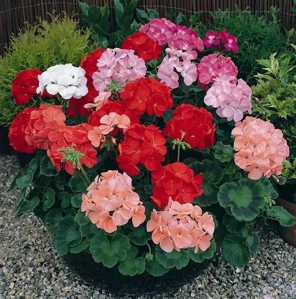 天竺葵一年四季开花的秘诀,摘花和浇水最关键