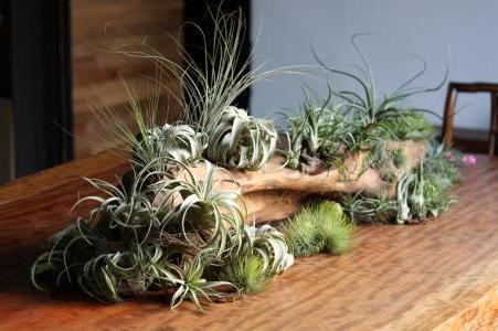 三种栽培空气凤梨的方法及优缺点对比