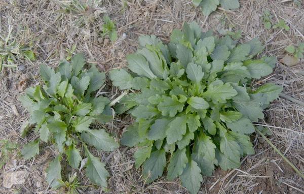 """春季可以采摘食用的""""野菜""""--马兰头"""
