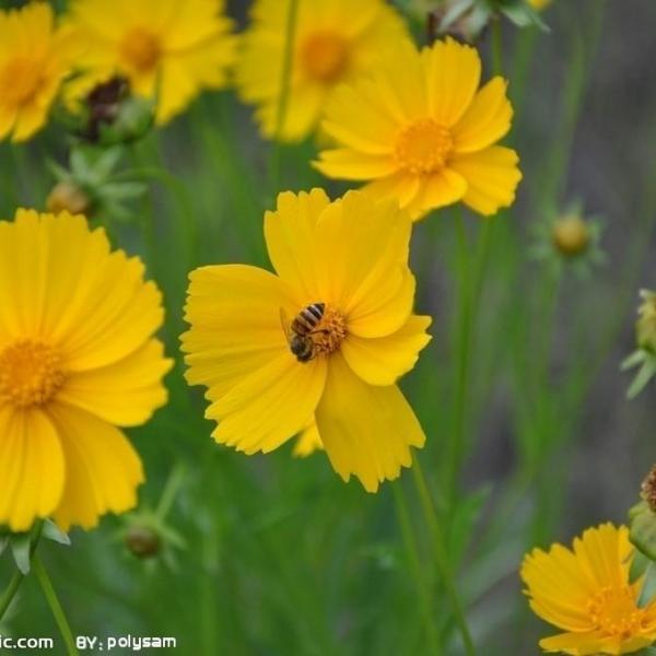 金鸡菊什么时候播种|春季为主