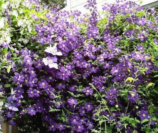 藤本皇后铁线莲--栽培、修剪、养护