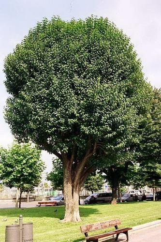 Qué es y cómo se cultiva la acacia negra o palo prieto