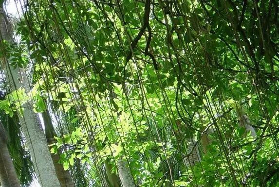 爬满阳台的藤蔓植物,这6种最好养活!