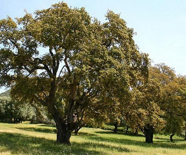 Árboles: Alcornoque mediterráneo