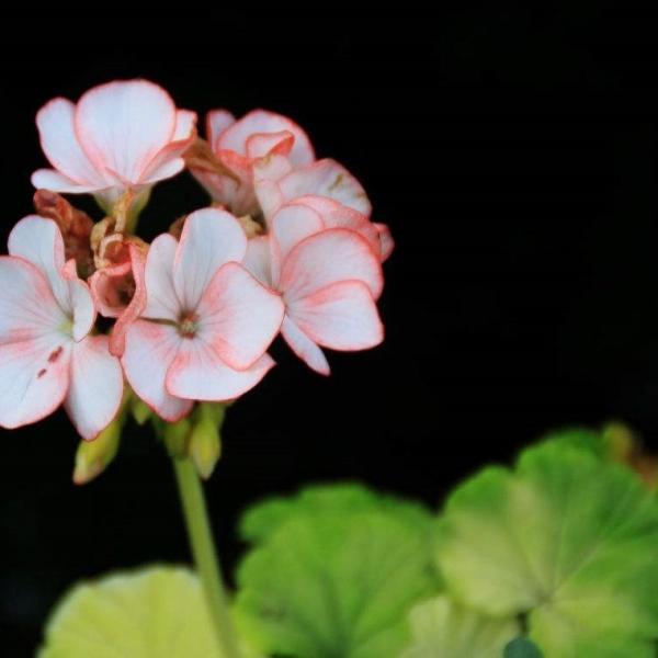 土天竺葵是什么品种