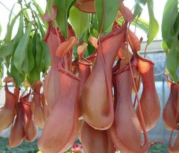 食虫植物-猪笼草
