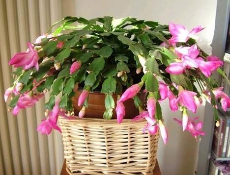 How to Make a Christmas Cactus Bloom at Christmas