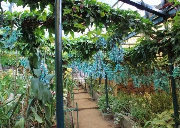 蓝绿色的爬藤花也只有它一种了,养在院子一串串香彩雀飞舞