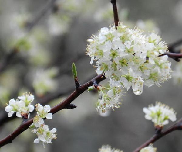 Árboles frutales: el ciruelo europeo