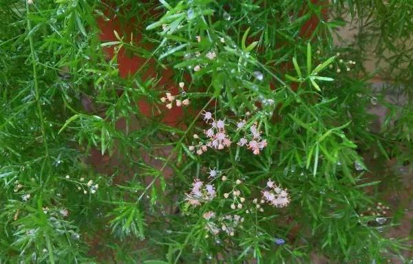 经常被误以为是文竹的植物,地下却长着地瓜状的块茎