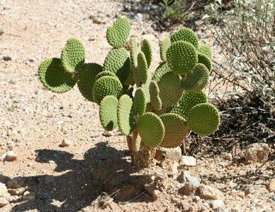 Opuntia Cactus Varieties: What Are Different Types Of Opuntia Cactus