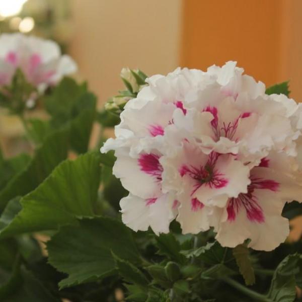 天竺葵保持四季常青的培养方法