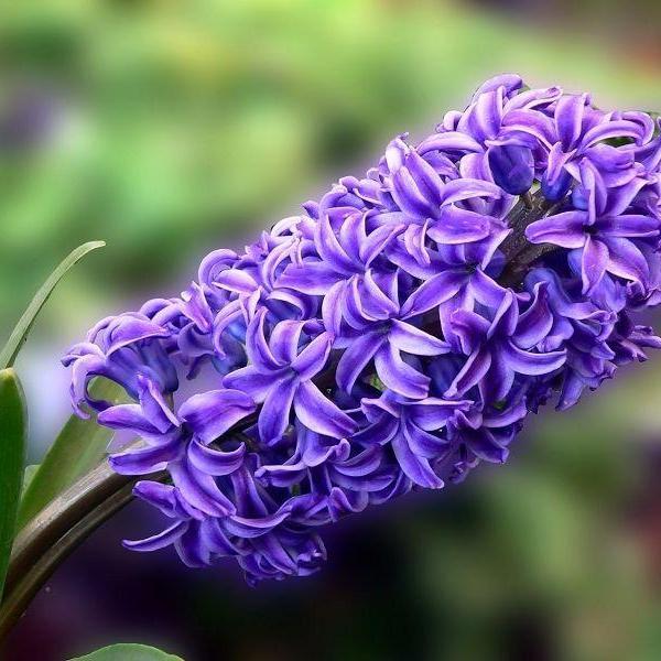 风信子开花维持多久 花能开几天