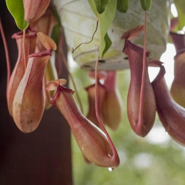 食虫植物怎样种