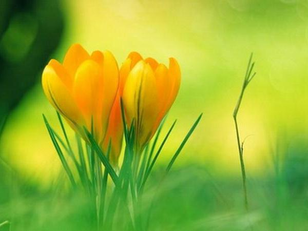 Yellow crocus—Mito enjoy