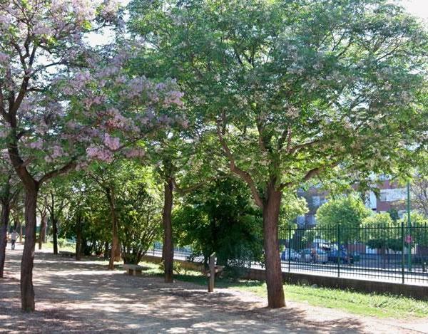 El árbol del paraíso o cinamomo: qué es y cómo se cultiva