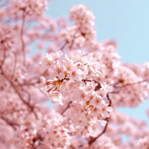 Cherry Blossom/Sakura