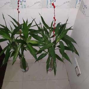 养富贵竹的水里加了生根粉,要一直放着等生根才不用放么?一直放着生根粉会不会对富贵竹不好呢?