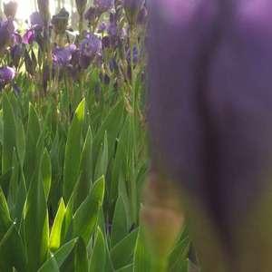 念念不忘,曦光下的耀眼紫色。 彩虹的拖尾,卷起最纯粹的梦想。青涩的年华,绽放出最璀璨的光辉。 一晃三载,高中的时光依旧历历在目。 蓬勃生长的鸢尾花,可曾想,我依旧记得你的幽香。