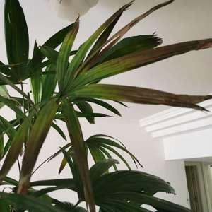 请教养花大神,我家的棕竹,刚买来好好的,现在少数开始焦叶,老叶的频率,黄叶的频率也挺高,请问是正常的新陈代谢,还是哪里养的不对?万分感谢!